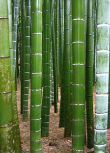 negozio bonsai semi di bamb gigante moso phyllostachis