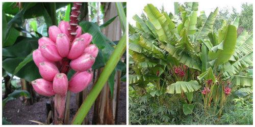 Negozio bonsai semi di banano rosa musa velutina - Pianta banano ...