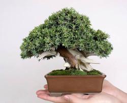 Semi di Ginepro ad aghi (Juniperus Rigida)