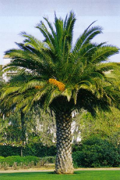 Semi di Palma da Datteri delle Canarie (phoenix Canariensis)