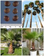 Semi di Palma Messicana (Washingtonia robusta)