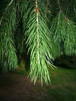 Busta da 20 semi di Abete Morinda (Picea smithiana). Appartiene alla famiglia delle Pinaceae. Conifera originaria dell' Asia e Himalaya.