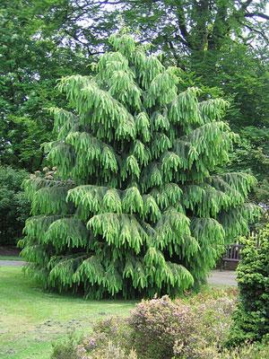 Semi di Abete Morinda (Picea Smithiana)