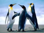 concime pinguino