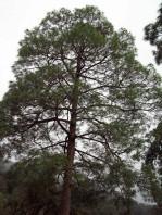 Semi di Pino Del Saggittario (Pinus Roxburghii)