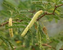Semi di Mesquite (Prosopis Juliflora)