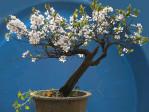 Semi di Amareno (prunus cerasus)