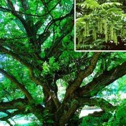 Semi di Noce del Caucaso (Pterocarya fraxinifolia)