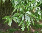 Semi di Cerro (Quercus Cerri)