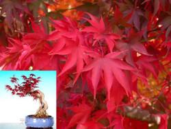 Semi di Acero Osakazuki (Acer Palmatum var.Osakazuki)