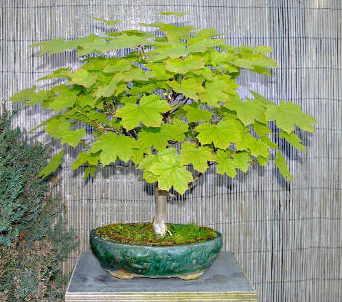 Semi di Acero d'Ungheria (Acer obtusatum)