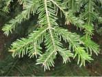Semi di Abete Bianco (Abies alba)