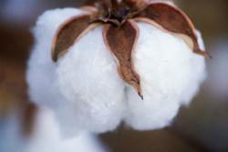 Semi di Cotone (Gossypium herbaceum)