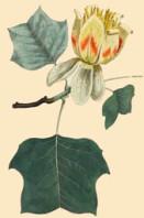 semi di Albero dei Tulipani (Liriodendron tulipifera)