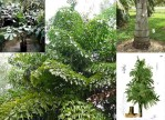 Semi di Palma da Zucchero (Caryota maxima)