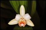 Semi di Orchidea Sobralia (Sobralia klotzscheana)