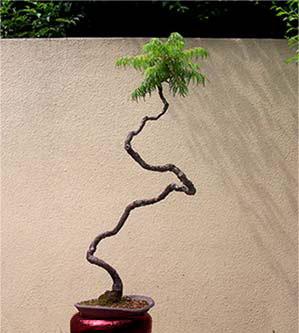 Semi di Rhus typhina (portamento bonsai naturale)