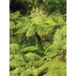 spore-di-felce-spinosa-cyathea-spinulosa (1)