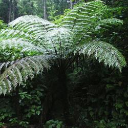 spore-di-felce-spinosa-cyathea-spinulosa