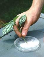 talea-bonsai-propagazione