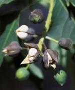 Semi di Albero del Popcorn (Triadica sebisfera)