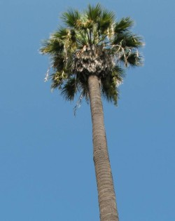 Semi di Palma Californiana (Washingtonia filifera)
