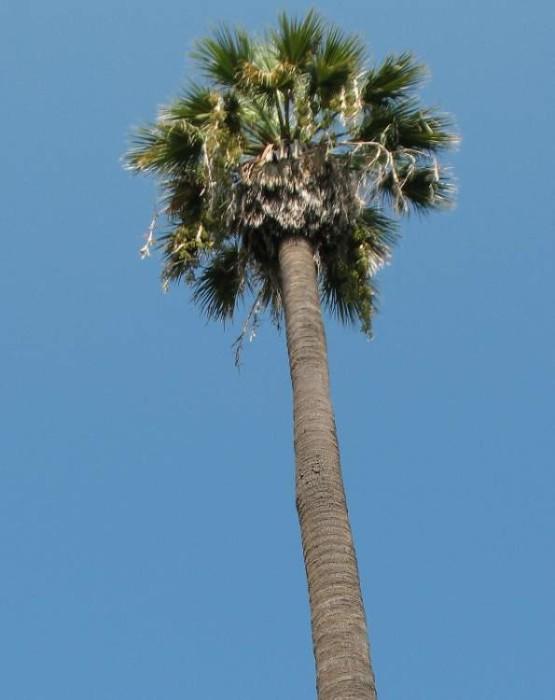 Semi di Palma Californiana (Washingtonia filifera)