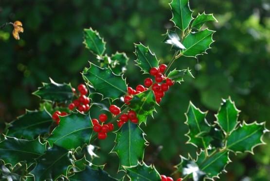 Semi di Agrifoglio (Ilex aquifolium)